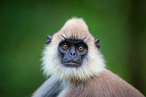 Tufted gray langur (Semnopithecus priam) Close up portrait of head and shoulders. Minneriya National Park, Sri Lanka. September - Will Burrard-Lucas