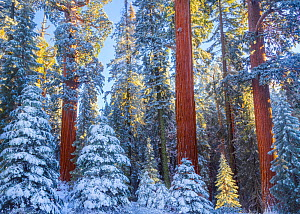 First rays of golden sunshine hit Giant Sequoias (Sequoiadendron giganteum) covered in a winter blanket of snow and frost, Grant Grove, Sequoia / Kings Canyon National Park, California, USA November - Floris  van Breugel