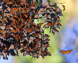 Monarch butterflies (Danaus plexippus) over winter on Eucalyptus and Monterey Cypress trees near Pismo Beach, San Luis, California, USA December.. When temperatures warm up enough, they will embark on... - Floris  van Breugel