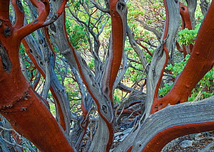 Manzanita (Arctostaphylos glauca) bark detail, San Gabriel Mountains, California, USA February - Floris  van Breugel