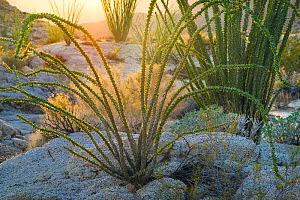 Ocotillo (Fouquieria splendens) in morning sun, Anza-Borrego State Park, California, USA February - Floris  van Breugel