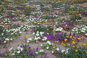 Dune primrose, Sand verbena, and Desert gold emerge from the sand after brief spring rains in Anza-Borrego Desert State Park, California, USA March - Floris  van Breugel