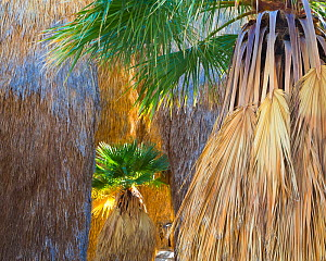 Young California fan palm (Washingtonia filifera) in sunshine among older palms in a remote oasis in Anza-Borrego Desert State Park, California, USA March - Floris  van Breugel