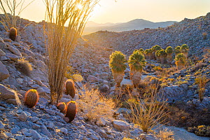 Barrel cacti (Ferocactus pilosus) and Ocotillo overlook Palm oasis at sunrise, Anza-Borrego Desert State Park, California, USA March  -  Floris  van Breugel