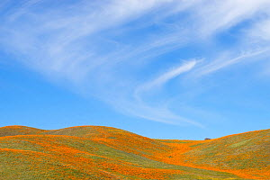 California poppies (Eschscholzia californica) and California goldfields (Lasthenia californica) extend as far as the eye can see, Antelope Valley Poppy Preserve, California, USA  -  Floris  van Breugel