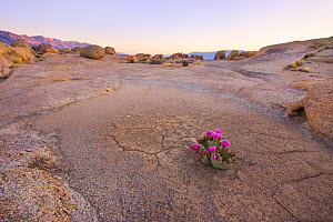 Beavertail cactus (Opuntia basilaris) in otherwise stark desert, Alabama Hills, Owen's Valley, California, USA May - Floris  van Breugel