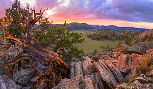 Ancient Bristlecone pine (Pinus aristata) clings to life, with a grand view of endless sage valleys, White Mountains, California, USA, July  -  Floris  van Breugel