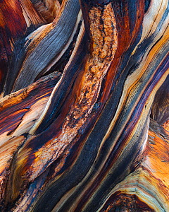 Bristlecone pine (Pinus aristata) abstract view of exposed and weathered wood layers, White Mountains, California, USA July  -  Floris  van Breugel