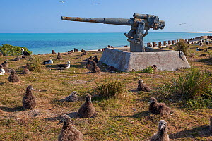 Laysan albatrosses (Phoebastria immutabilis) chicks on nests around an old gun battery part of WWII defences. Eastern Island, Midway Atoll. March 2010.  -  Doug Perrine