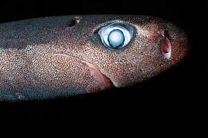 Pygmy shark (Euprotomicrus bispinatus) portrait, captive. Kona, Hawaii. Central Pacific Ocean.  -  Doug Perrine