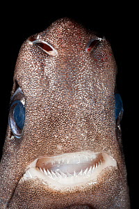 Pygmy shark (Euprotomicrus bispinatus) showing head with teeth, eyes, and nares or nostrils. Captive, Kona, Hawaii, USA. Central Pacific Ocean.  -  Doug Perrine