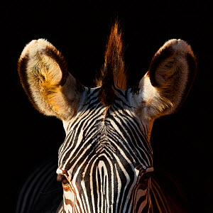 Grevy's zebra (Equus grevyi) close up ears, captive. - Juan  Carlos Munoz