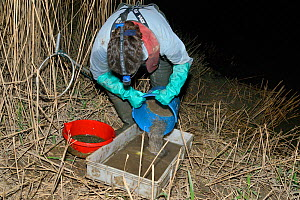 Anna Carey pouring her catch from a collecting bucket into a tray after fishing under license for young European eel (Anguilla anguilla) elvers, or glass eels, on a rising tide on the River Parrett at...  -  Nick Upton