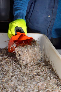Glass eels, young European eel (Anguilla anguilla) elvers being scooped up to be weighed and packaged at UK Glass Eels  for transport to Germany for reintroduction projects, Gloucester, UK, March. Mod...  -  Nick Upton