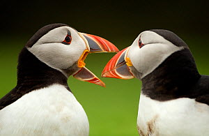 Atlantic Puffin (Fratercula arctica) pair bill rubbing part of courtship ritual, Skomer Island, Wales, UK, May  -  Danny Green