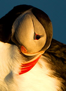 Atlantic Puffin (Fratercula arctica) preening in late evening light, Heimaey, Westman Isles, Iceland, June - Danny Green