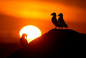 Atlantic Puffins (Fratercula arctica) resting on a cliff top in the sunset, Sule Skerry, Scotland, UK, July - Danny Green