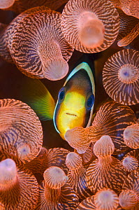 Clark's anemonefish (Amphiprion clarkii) portrait in its host Bubble-tip anemone: Entacmaea quadricolor).  Horseshoe Bay, Rinca Island, Komodo National Park, Indonesia.  -  Alex Mustard
