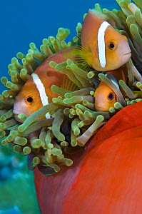 Maldives anemonefish (Amphiprion nigripes) in a magnificent sea anemone (Heteractis magnifica). Baa Atoll, Maldives. Indian Ocean.  -  Alex Mustard