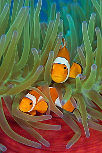 RF- Western clownfish (Amphiprion oceallaris) in Magnificent sea anemone (Heteractis magnifica). Raja Ampat, West Papua, Indonesia. (This image may be licensed either as rights managed or royalty free...  -  Alex Mustard