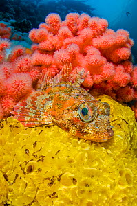 Red Irish lord (Hemilepidotus hemilepidotus)  resting on a yellow sponge, in front of red soft coral (Eunephthya rubiformis). Browning Pass, Port Hardy, Vancouver Island, British Columbia. Canada. Nor... - Alex Mustard