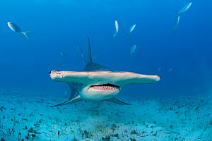 Great hammerhead shark (Sphyrna mokarran) swimming over a sandy seabed, accompanied by Rainbow runners (Elagatis bipinnulata) South Bimini, Bahamas. The Bahamas National Shark Sanctuary. Gulf Stream,...  -  Alex Mustard