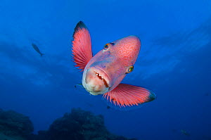 RF- Mexican hogfish (Bodianus diplotaenia). Socorro Island, Revillagigedos, Mexico. East Pacific Ocean. (This image may be licensed either as rights managed or royalty free.)  -  Alex Mustard