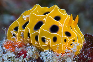 Nudibranch (Reticulidia suzanneae) on a coral reef. East of Eden, Similan Islands, Thailand. Andaman Sea, Indian Ocean. - Alex Mustard