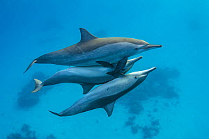 RF- Two male Spinner dolphins (Stenella longirostris) take it in turns to mate with a larger female. The male's penis (middle) is visible in this frame. Sataya Reef, Fury Shoal, Egypt. Red Sea. (This... - Alex Mustard