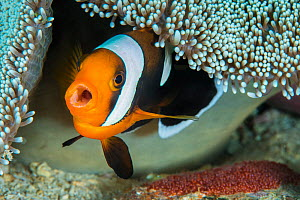 Saddleback anemonefish (Amphiprion polymnus) female barks as she guards her clutch of eggs, laid beneath her host anemone. Anilao, Batangas, Luzon, Philippines. Verde Island Passages, Tropical West Pa... - Alex Mustard