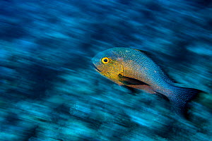 Long exposure of a Midnight snapper (Macolor macularis) swimming over a coral reef. Rock Islands, Palau, Micronesia. Tropical west Pacific Ocean  -  Alex Mustard
