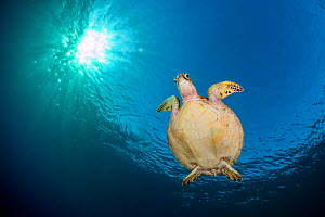 RF- Green sea turtle (Chelonia mydas) swimming in blue beneath evening sun. Rock Islands, Palau, Mirconesia. Tropical west Pacific Ocean. (This image may be licensed either as rights managed or royalt...  -  Alex Mustard