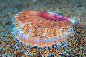 Scallop (Pecten maximus) Loch Carron, Ross and Comarty, Scotland, Great Britain. North East Atlantic Ocean.  -  Alex Mustard