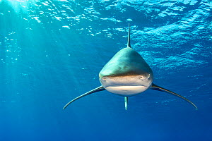 Whitetip shark (Carcharhinus longimanus) head on beneath the surface. Rocky Island, Egypt. Red Sea - Alex Mustard