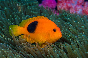 Red saddleback anemonefish (Amphiprion ephippium) in its host anemone, with soft corals behind. This species of anemonefish is endemic to the Andaman Sea.  Richelieu Rock, Thailand. Andaman Sea, India...  -  Alex Mustard