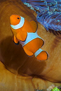 Western clownfish (Amphiprion ocellaris) in front of an anemone, Tulamben Bay, Bali, Indonesia. Java Sea. - Alex Mustard