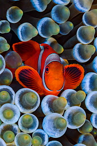 RF- Spinecheek anemonefish (Premnas biaculeatus) in host Bubble-tip anemone (Entacmaea quadricolor) on coral reef. Fiabacet Island, Misool, Raja Ampat, West Papua, Indonesia. Ceram Sea. (This image ma...  -  Alex Mustard