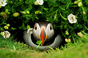 Atlantic Puffin (Fratercula arctica) coming out of it's burrow with a gift, Skomer Island, Wales, UK, May - Danny Green