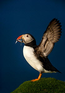 Atlantic Puffin (Fratercula arctica) wing stretching with sand eels in beak, Flannan Isles, Scotland, UK, July - Danny Green
