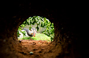 Atlantic Puffin (Fratercula arctica) looking down a nesting chamber, Skomer Island, Wales, UK, May - Danny Green
