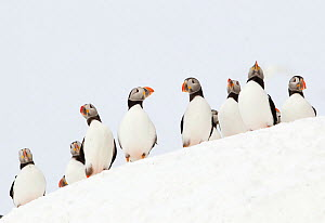 Atlantic Puffin (Fratercula arctica) flock resting on a snow bank, Horn�ya, Varanger, Norway, April - Danny Green
