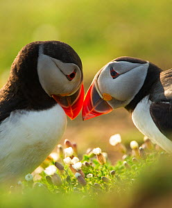 Atlantic Puffins (Fratercula arctica) bill rubbing, Skomer Island, Wales, UK, April - Danny Green