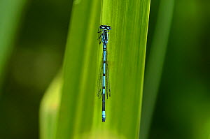 Azure damselfly (Coenagrion puella) male at rest. Dorset, UK June.  -  Colin Varndell