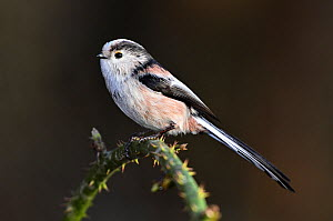 Long-tailed tit (Aegithalos caudatus) in winter. Dorset, UK. - Colin Varndell