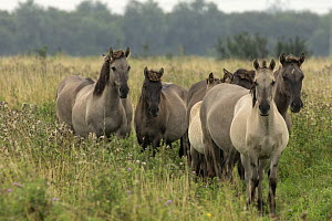 Konik ponies or Polish primitive horse believed by some to be closely related to the European wild horse. These horses are often used in grazing management practices in wildife reserve. UK, August 201...  -  John Cancalosi