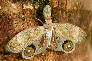 Lantern fly / Machaca (Fulgora lampetis) with wings spread on tree in tropical dry forest, Costa Rica  -  John Cancalosi