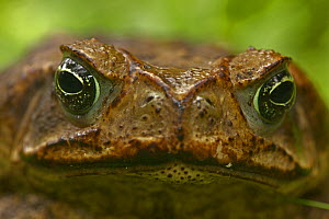 Marine toad (Bufo marinus) close up face portrait, Costa Rica  -  John Cancalosi