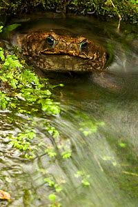 Marine toad (Bufo marinus) portrait sitting in small pond in tropical rainforest, Costa Rica  -  John Cancalosi