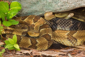 Timber rattlesnakes (Crotalus horridus) gravid females basking to bring young to term with Common garter snakes (Thamnophis sirtalis) Pennsylvania, USA - John Cancalosi