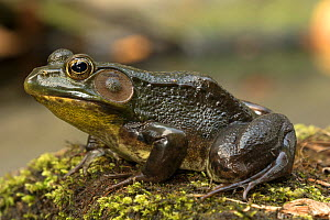 Green frog (Lithobates / Rana clamitans) New York, USA  -  John Cancalosi